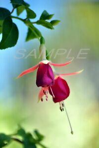 Beautiful Red Fuchsia Photo Printable Photograph