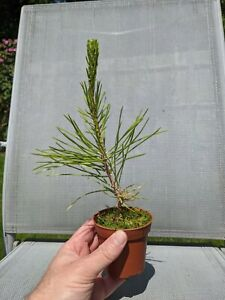 Japanese Black Pine Pinus thunbergii 3 year old seed grown