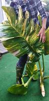 GIANT Variegated Golden Pothos / Philodendron / Epipremnum  LARGE vine cutting