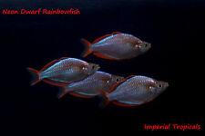 (5) Neon Dwarf Rainbowfish Melanotaenia praecox Live Tropical Fish