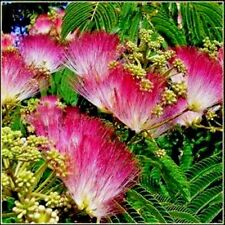 Silk Tree (Mimosa Tree) seeds - Easy to grow - 20 seeds - A Hummingbird Favorite