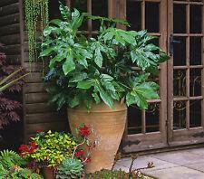 Fatsia japonica Hardy Evergreen Shrub Plant 17cm Pot x 1 Japanese aralia T&M