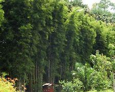 Thyrsostachys oliveri. 20 seeds. Clumping bamboo. Very rare. Medium sized.