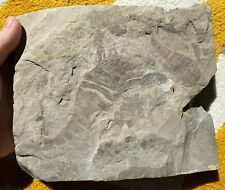 Multiple Silurian eurypterids from bertie fm, new york - eurypterus remipes