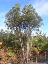 Plunkett Mallee Seeds 3m Shrub Drought Hardy Coastal Multi-Stemmed Small Tree.