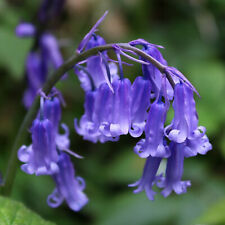 50 English BlueBell Hyacinthoides Non Scripta Garden Bulbs Spring Flowering