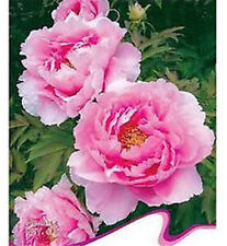 FD2024 Fragrant Pink Peony Flower Seed Garden Flower Rare ~1 Pack 6 Seeds ✿