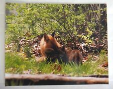 Adorable and amazing Red Fox  8x10 photo, Wildlife Photography by Chris Mathein