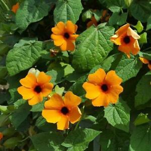 Thunbergia alata Orange Black Eyed Susan 60 seeds