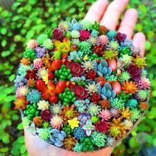 300 Pcs Sempervivum Plants Mixed Seeds Garden Succulents Cactus Bonsai Perennial