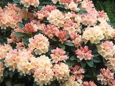 Rhododendron Golden Torch  - #5 Container Size Plant - Hardy to 0 F