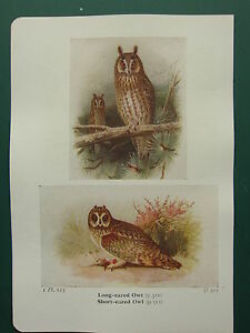 VINTAGE BIRD PRINT ~ LONG-EARED OWL ~ SHORT-EARED