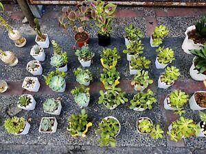 Quality Lucky Bonsai / Hybrid Money Tree / Water Bonsai Plants Direct Supply