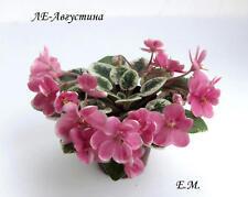 African violet leaf **LE-Avgustina***semimini russian variety of 2017