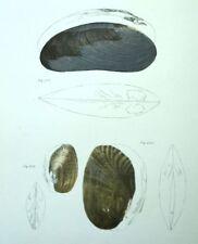 Conchas conchas Decoración restaurantes Fruits del mar Litografía siglo XIX