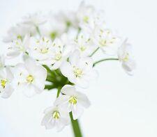 ☺100 graines d ail de naples. allium neapolitanum cirillo