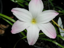 Rain Lily, Zephyranthes Labufarosea Big Dude, 2 bulbs, NEW, habranthus