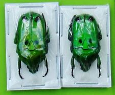Lot of 2 Face Bug Flower Beetle Heterorrhina sexmaculata sexmaculata Fast Usa