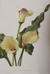 1905 antique print Cambridge Calla Lily. 116 years old. Yellow flowers. 1371