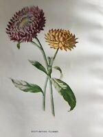 ANTIQUE PRINT C1900 EVERLASTING FLOWER GARDEN FLOWERS BOTANY BOTANICAL ART