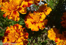 25 Marigold Flower Seeds, French Dwarf Double Mixed Color, Orange Yellow Bronze