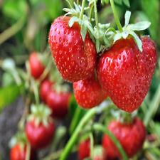 San Andreas Everbearing 10 Live Strawberry Plants, Non Gmo,