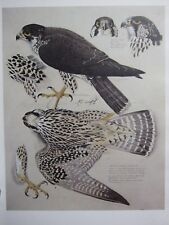 More details for beautiful tunnicliffe bird print ~ peregrine falcon juvenile