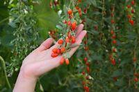 ** Goji-Beere - Lycium barbarum syn. chinensis** Winterharter Gartenstrauch.