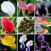 100pcs Calla Lilien Samen Bonsai Home Garten seltene Pflanze-Schöne Blumen Y3G6