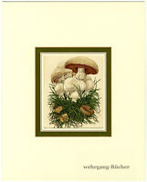 "Beautiful Mushroom print in a decorative mat, ""field mushroom"" from 1937"