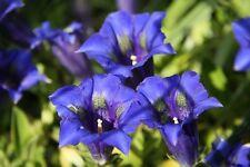 70+ semillas Gentiana acaulis-Azul Alpes-anglica
