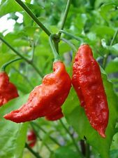 Naga Morich Snake Serpent Ghost Chilli Pepper Red Hot Chili Pepper Seeds 25 PCS