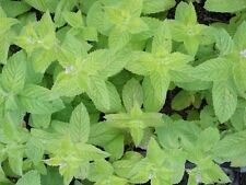 Apple Mint - Mentha suaveolens - 20+ seeds - ODOROUS and BEAUTIFUL!