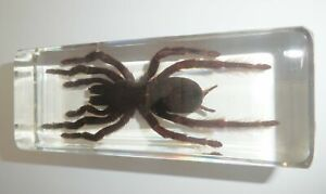Large Tarantula Spider Golden Earth Tiger 110x43x30 mm Block Education Specimen