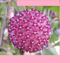 20x Hoya Carnosa Violett Neu Blumensamen Mehrjährig Zimmerpflanze Neu #223