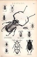 1880 Stampa ~ Naturale Storia ~Beetles~ Lungo Armate Foglia Large Acqua Glow