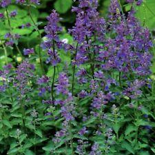 Katzenminze Nepeta blau violett Pflanzen 150 Samen Nr.338
