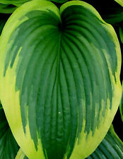 Montana Aureomarginata Hosta Seeds!  COMB. S/H! MORE HOSTA IN OUR STORE!