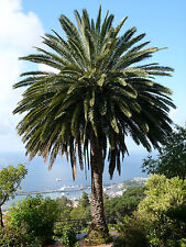 5 graines PALMIER DES CANARIES (Phoenix Canariensis)H389 CANARY DATE PALM  SEEDS