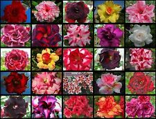 """ADENIUM """"Mixed 25 Types"""" 25 GRAFTED PLANTS RARE!"""