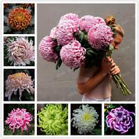 Chinese Mum Perennial Flower Bonsai Plants Chrysanthemum Mix Color 200 PCS Seeds
