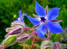 200 Graines de Bourrache officinale , Borago officinalis  Seeds