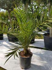 Phoenix Canariensis Palme kanarische Dattelpalme Gesamthöhe 80 - 110 cm