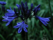 Agapanthus Midnight Star  (Navy Blue) dark blue flowers   garden perennial plant