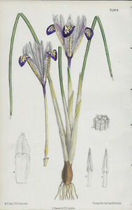 1889 Authentic Antique Hand Coloured Botanical Print - IRISES