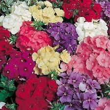 NEW!!    30+ FRAGRANT DRUMMONDII PHLOX FLOWER SEED MIX / SHADE PERENNIAL