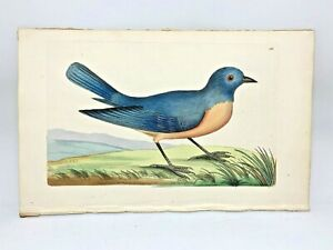 Blue Redbreast Bird - 1783 RARE SHAW & NODDER Hand Colored Copper Engraving