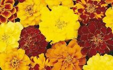 50 Marigold French Durango Mix Seeds PLANT SEEDS