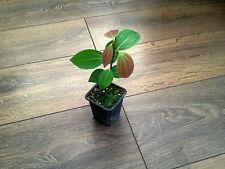 Ceylon Cinnamon , Cinnamomum  Zeylanicum ( Cinnamomum Verum ) * 1 PLANT * NEW!