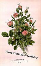 Botanical Illustration of Pom Pom Rose (Rosa Centifolia) - Historic Art Print